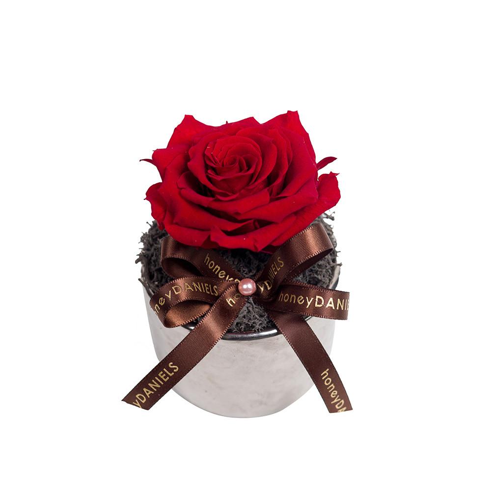 紅玫瑰恆星花
